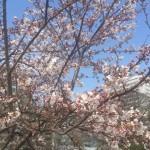 お花見写真日曜日